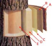 A diagram showing the inner layers of a tree