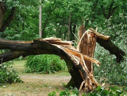 A damaged tree, split at the trunk during a storm